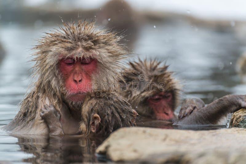 Macaco da neve nos termas imagens de stock royalty free