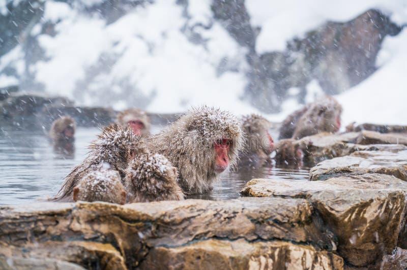 Macaco da neve nos termas fotos de stock royalty free