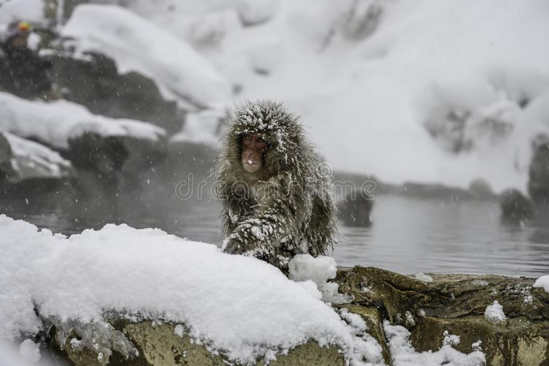 Macaco da neve que senta-se no seaon do inverno da água de mola quente imagens de stock royalty free
