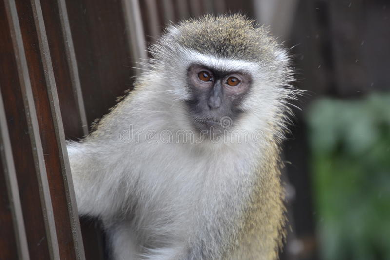Macaco da pele de Brown imagem de stock