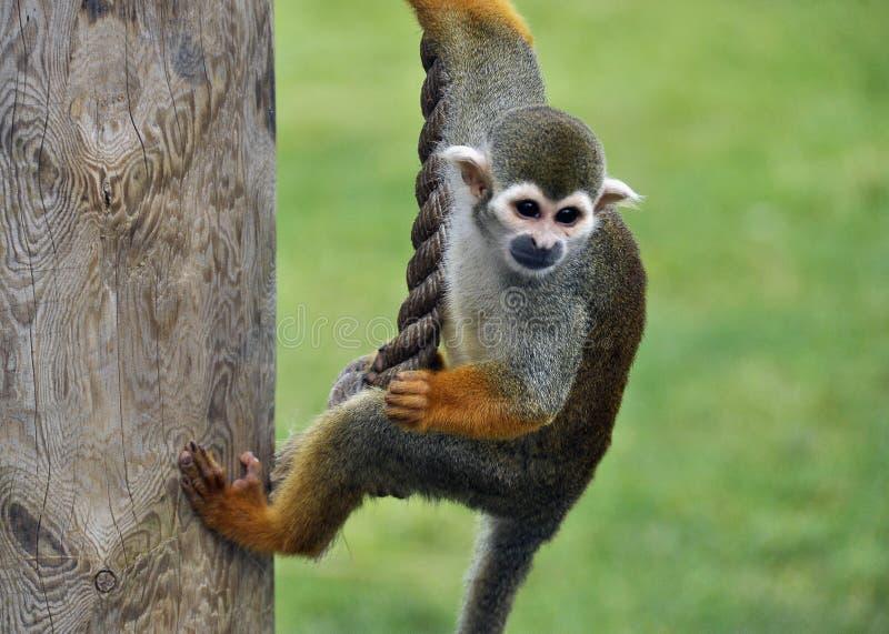 Macaco de aranha imagem de stock