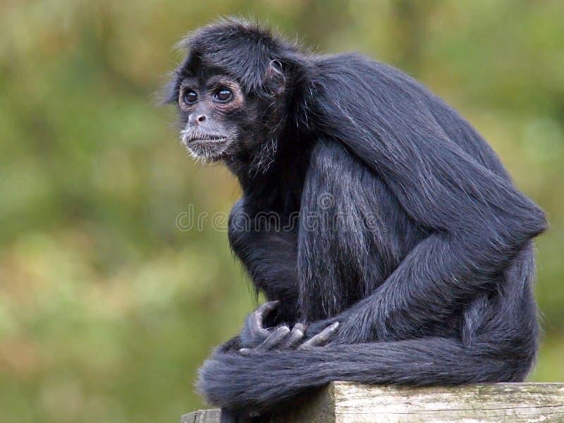 Macaco de aranha foto de stock