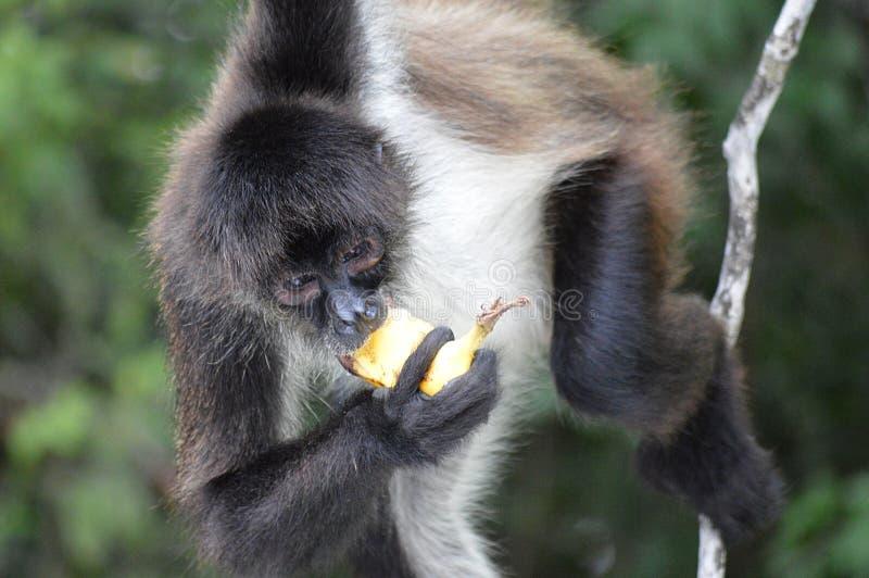 Macaco de aranha fotografia de stock