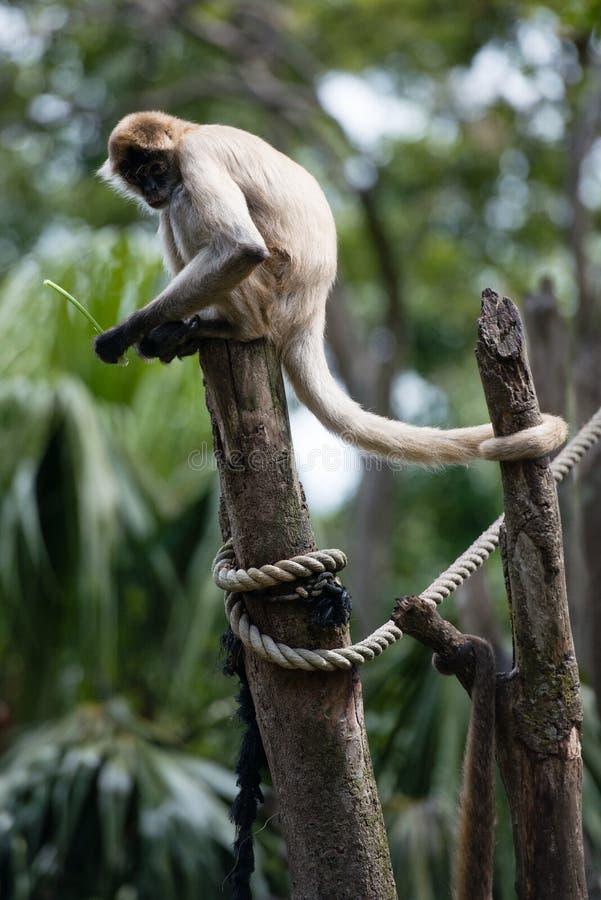 Macaco de aranha imagem de stock royalty free