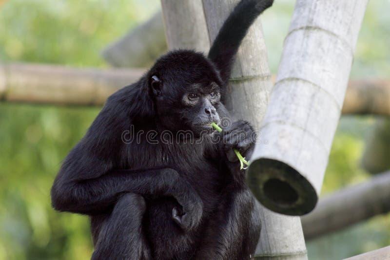 Macaco de aranha imagens de stock