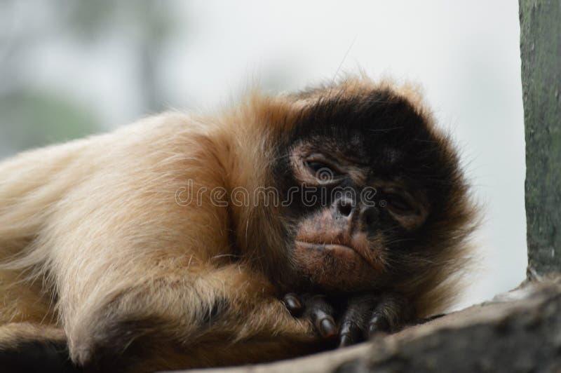Macaco de aranha fotos de stock royalty free