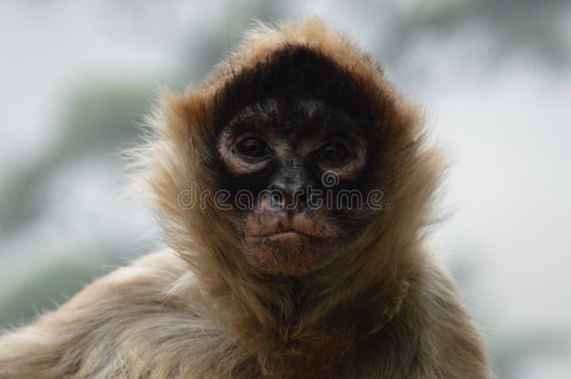 Macaco de aranha imagens de stock royalty free