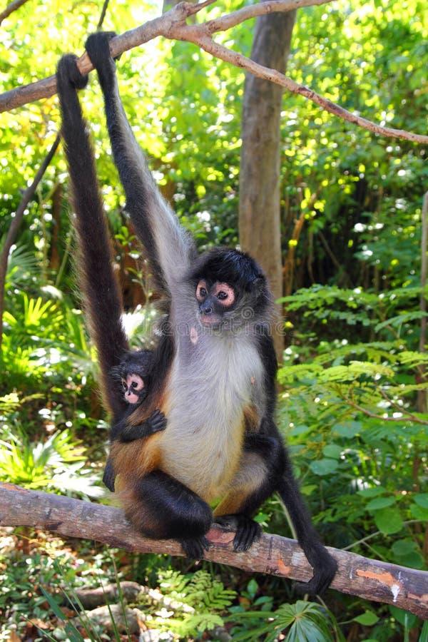 Macaco de aranha América Central do geoffroyi do Ateles fotos de stock