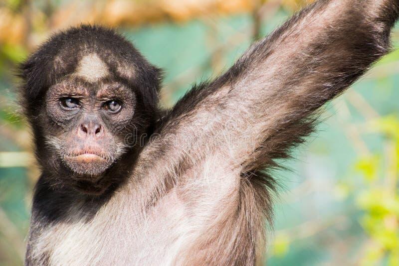 Macaco de aranha de Brown fotografia de stock