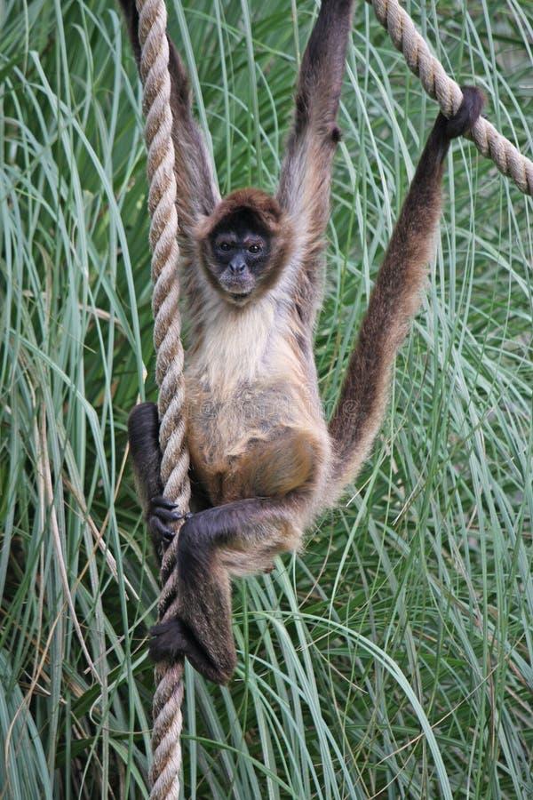Macaco de aranha do bebê foto de stock royalty free