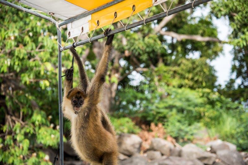Macaco de aranha do bebê fotos de stock