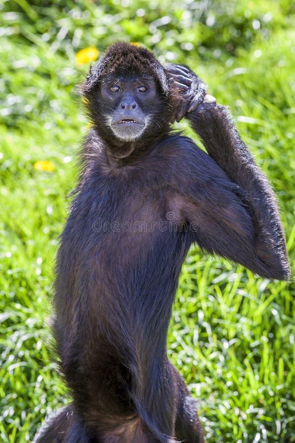Macaco de aranha do vellerosus do geoffroyi do Ateles imagem de stock