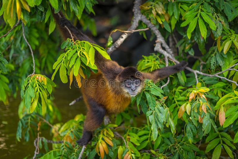 Macaco de aranha em Nicarágua imagens de stock royalty free