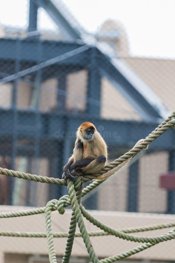 Macaco de aranha & x28; Geoffroyi& x29 do Ateles; sente-se em uma corda imagem de stock royalty free