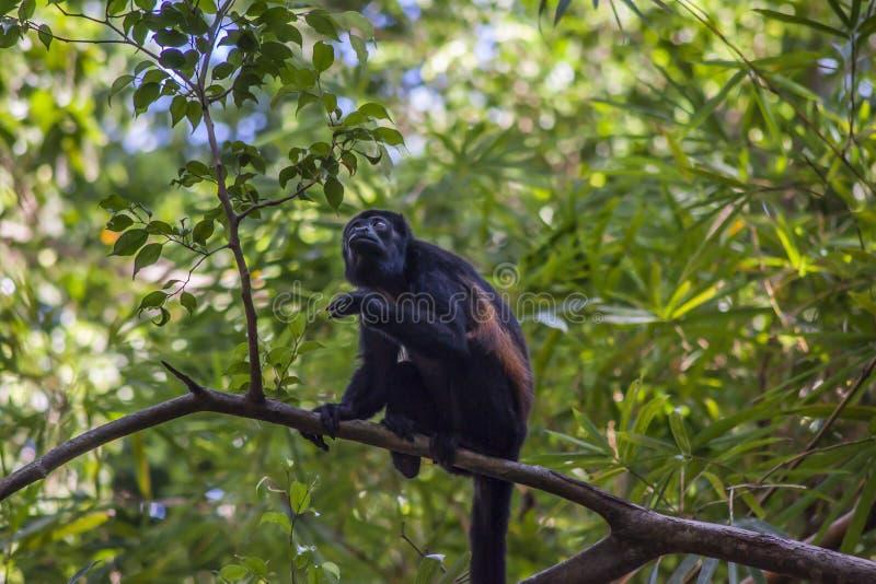Macaco de aranha na árvore fotografia de stock royalty free