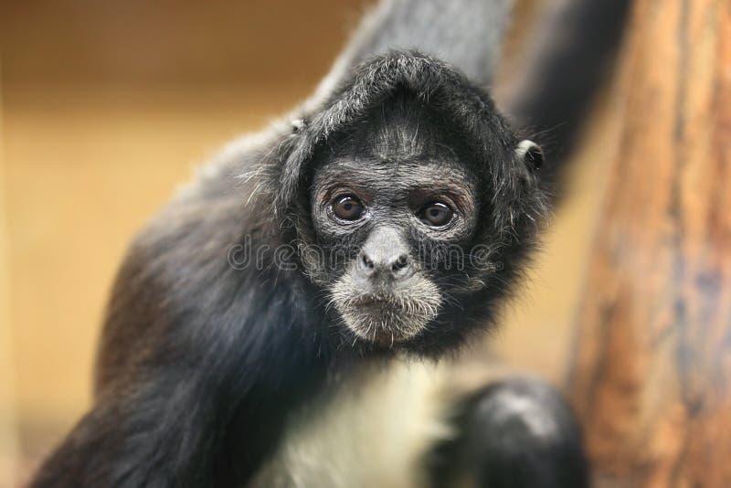 macaco de aranha Preto-entregue fotos de stock royalty free