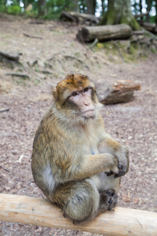Macaco de assento em Affenberg (monte do macaco) em Salem, Alemanha fotografia de stock royalty free