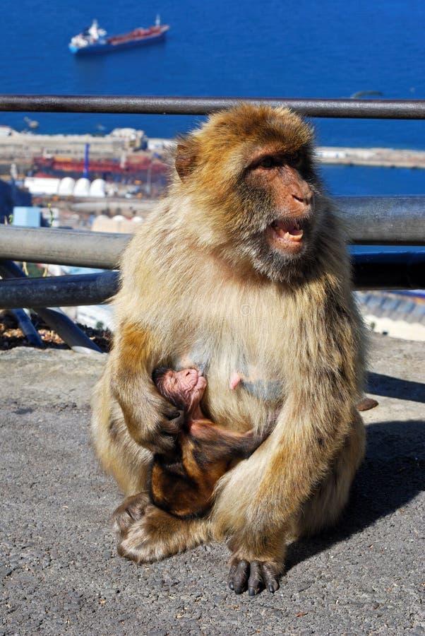 Macaco de Barbary que alimenta seu bebê, Gibraltar. fotos de stock