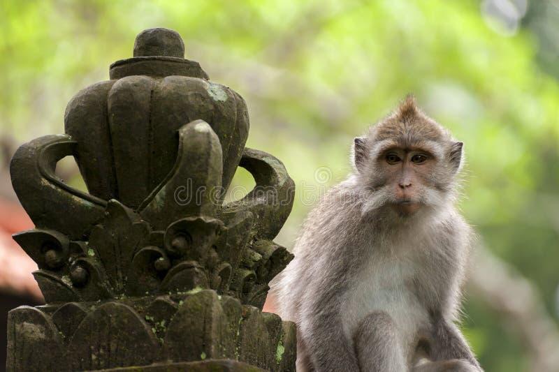 Macaco de cauda longa do Balinese imagens de stock