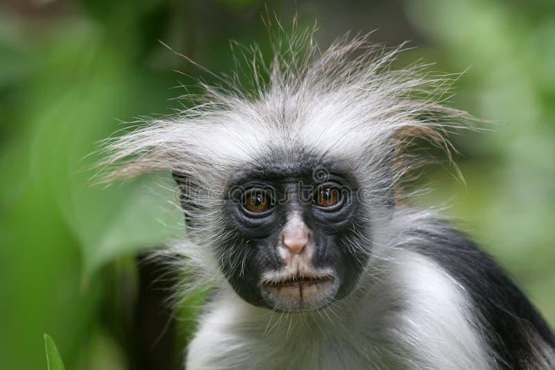 Macaco de Colobus fotografia de stock royalty free