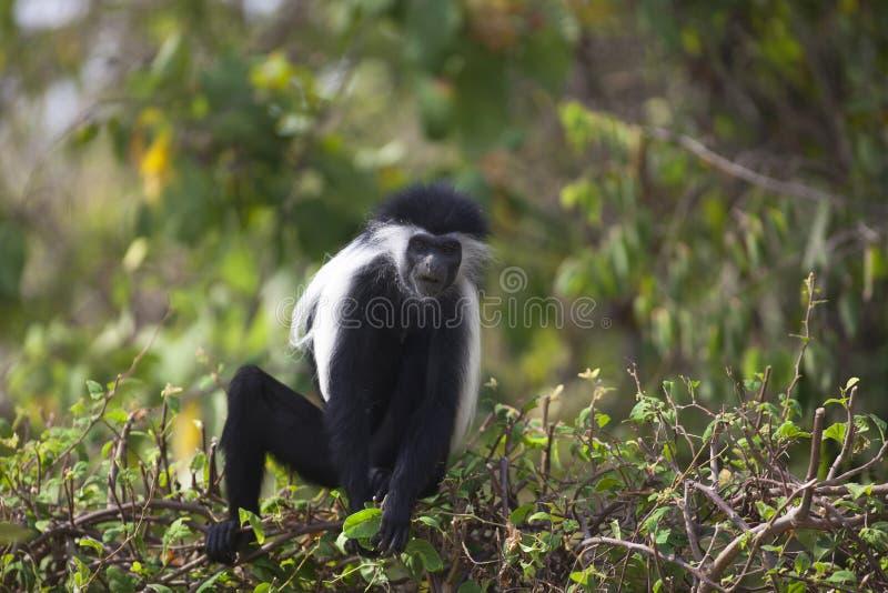 Macaco de Colobus fotografia de stock