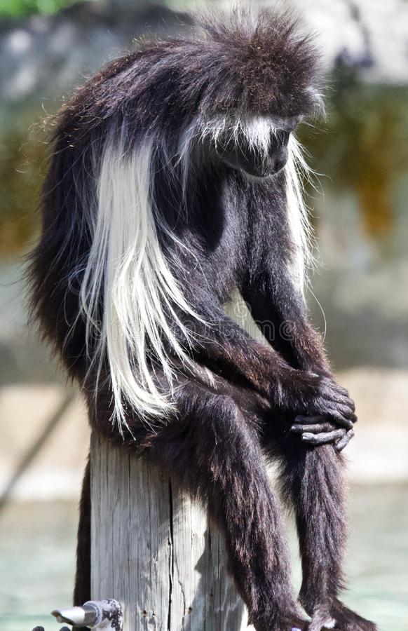Macaco de colobus preto e branco foto de stock royalty free