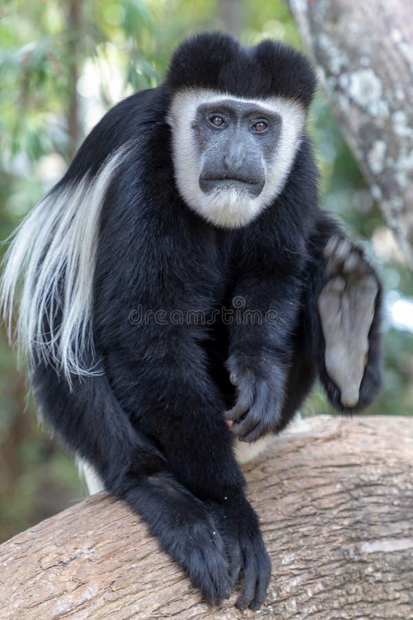 Macaco de colobus preto e branco, em Kenya, África fotos de stock