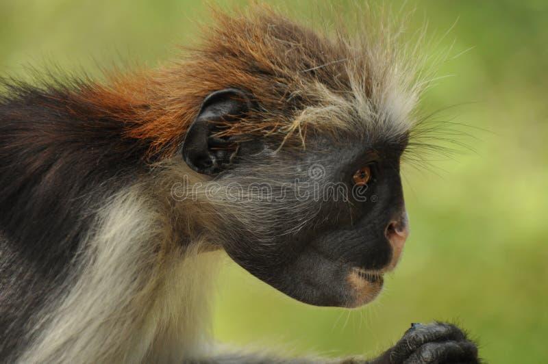 Macaco de colobus vermelho imagens de stock royalty free