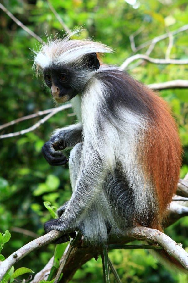 Macaco de colobus vermelho na floresta de Jozani imagem de stock