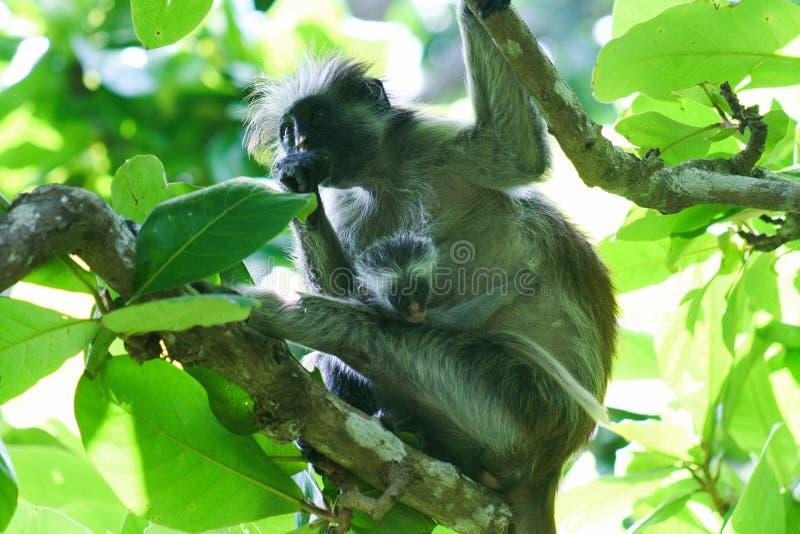 macaco de colobus vermelho posto em perigo Piliocolobus, mãe do kirkii de Procolobus com o bebê nas árvores da floresta de Jozani foto de stock royalty free