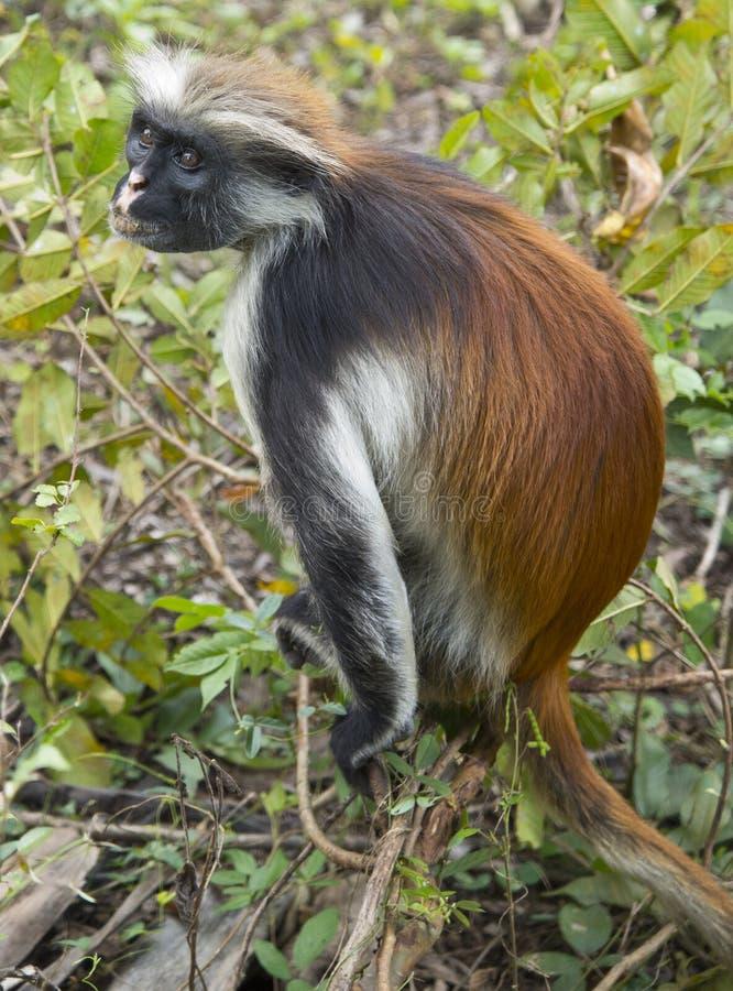 Macaco de Colobus vermelho raro foto de stock