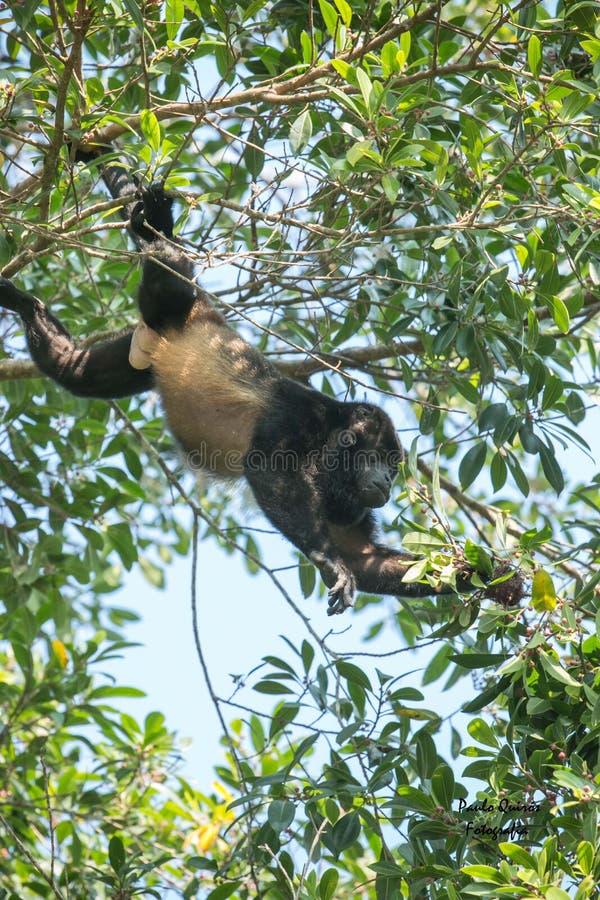Macaco de Congo que procura o alimento II fotos de stock