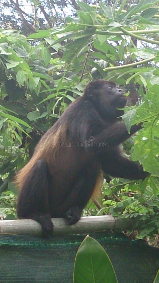 Macaco de Costa Rica imagem de stock royalty free