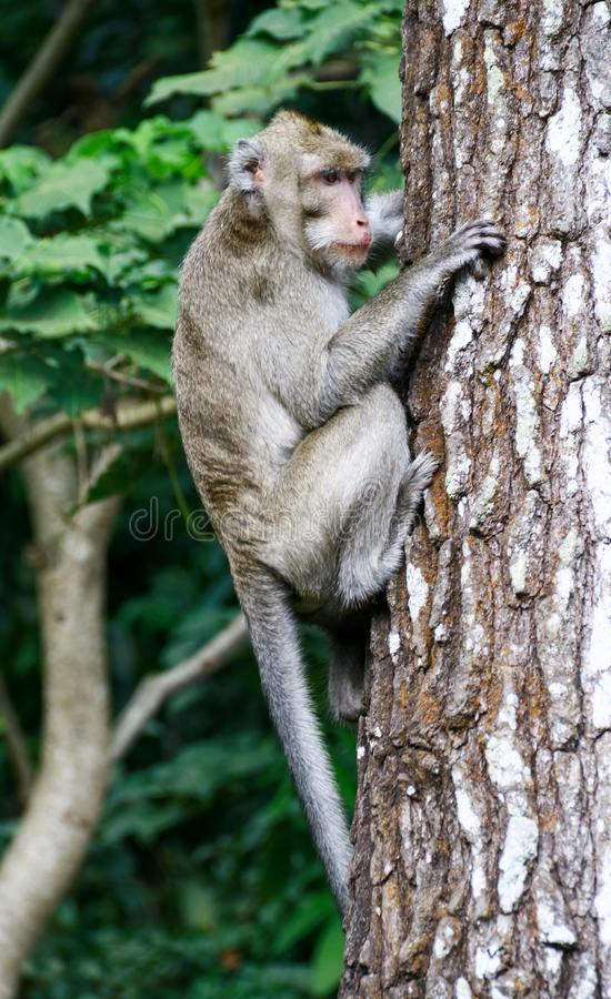 Macaco de Cynomolgus ou macaque Caranguejo-comer fotografia de stock royalty free