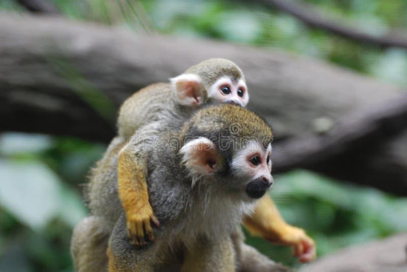 Macaco de esquilo adorável da mãe e do bebê junto imagens de stock