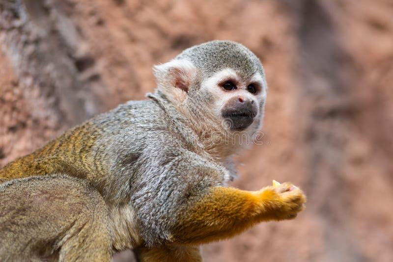 Macaco de esquilo bonito Saimiri Sciureus foto de stock