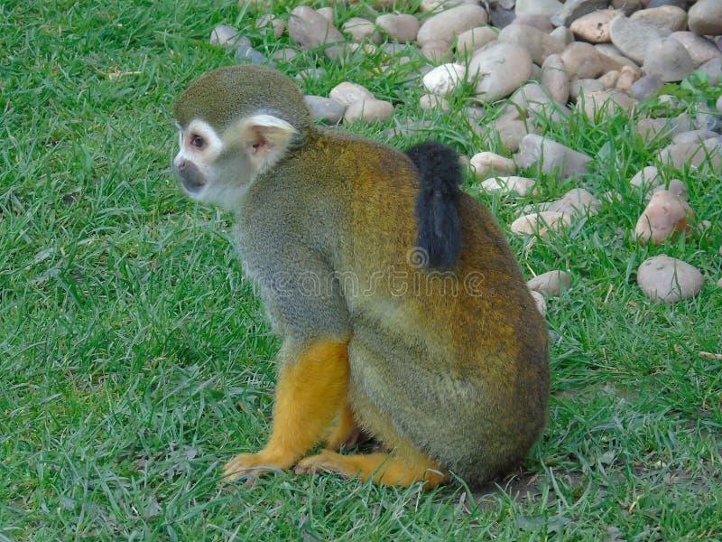 Macaco de esquilo com sua cauda imagens de stock