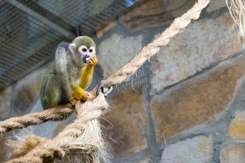 Macaco de esquilo comum no jardim zoológico Saimiri Sciureus fotos de stock royalty free