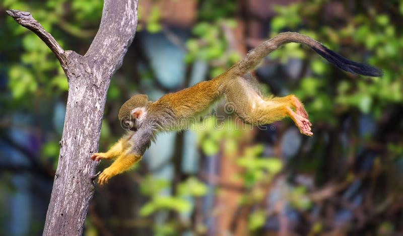 Macaco de esquilo comum que salta de uma árvore a outra fotos de stock
