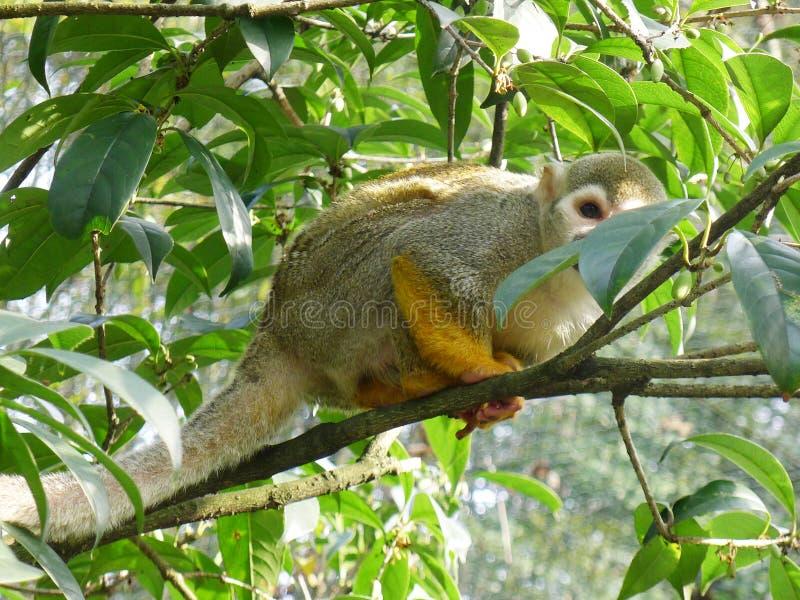 Macaco de esquilo pequeno imagem de stock royalty free