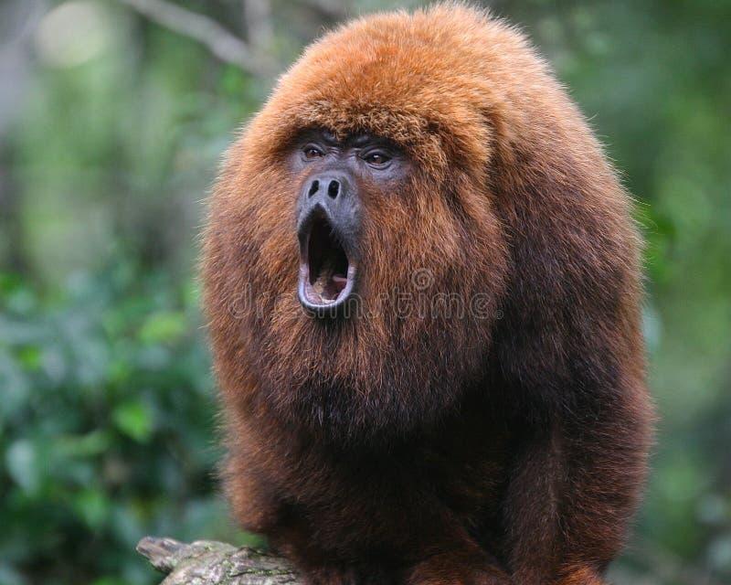 Macaco de furo imagens de stock royalty free