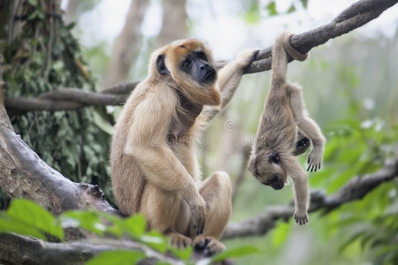 Macaco de furo da mãe e do bebê fotos de stock