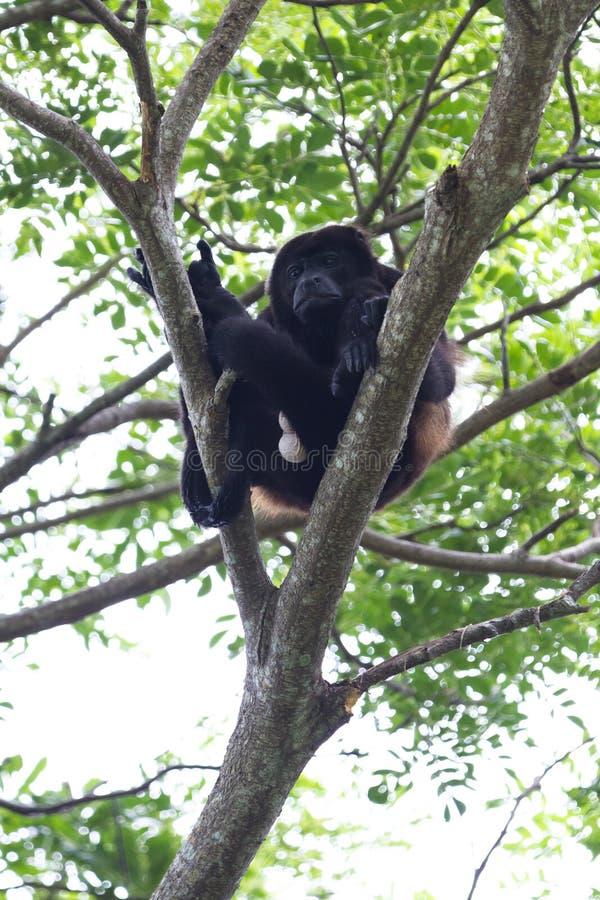 Macaco de furo envolvido - palliata do Alouatta foto de stock royalty free