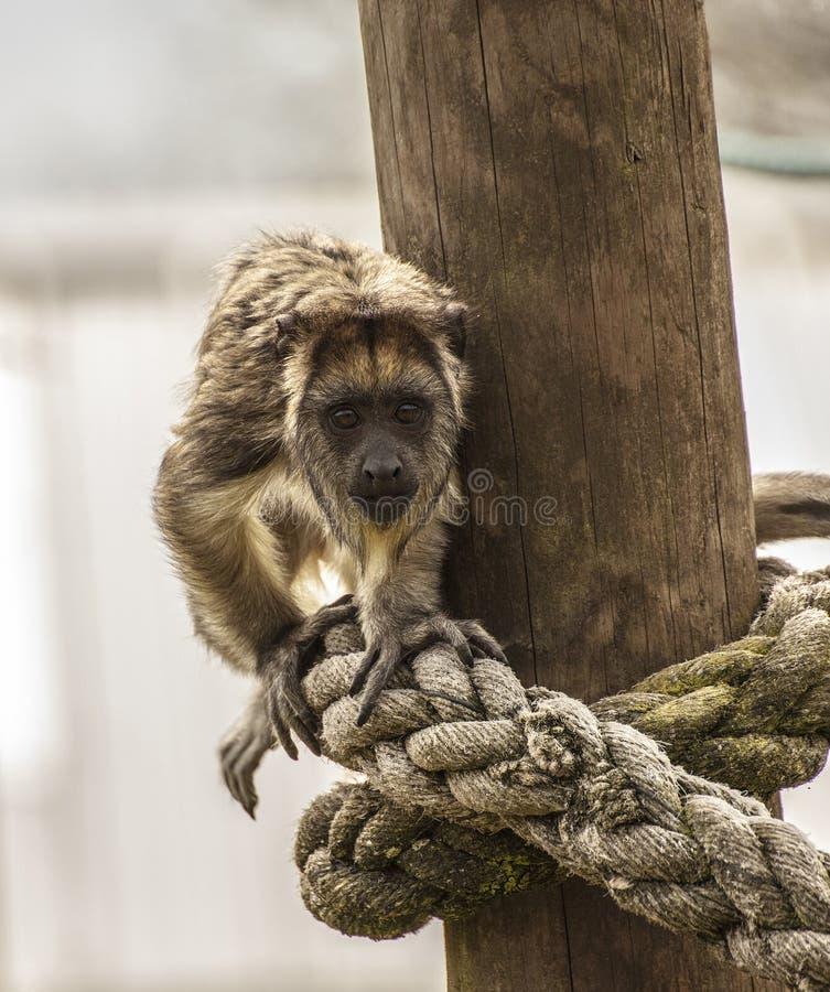 Macaco de furo novo que olha curioso foto de stock royalty free