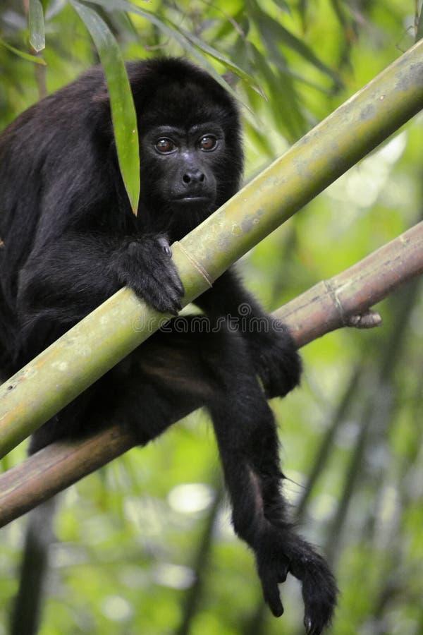 Macaco de furo preto - Alouatta Palliata imagem de stock