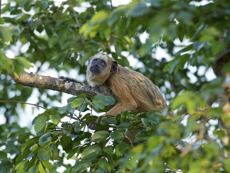 Macaco de furo preto (caraya do Alouatta) imagens de stock royalty free