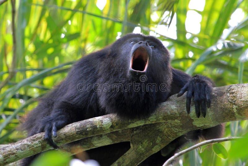 Macaco de furo preto que urra imagem de stock