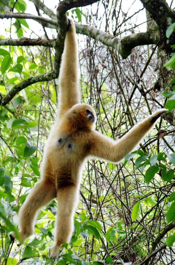 Macaco de Gibbon foto de stock