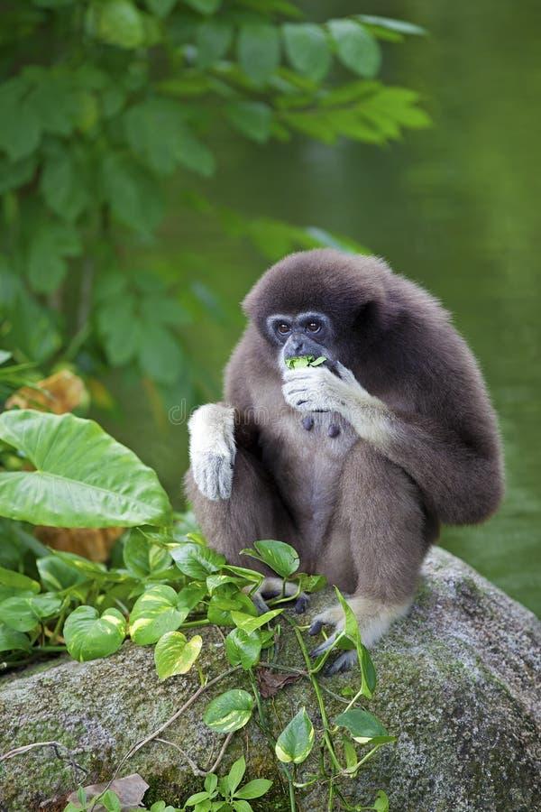 Macaco de Gibbon fotografia de stock