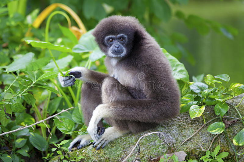 Macaco de Gibbon imagens de stock